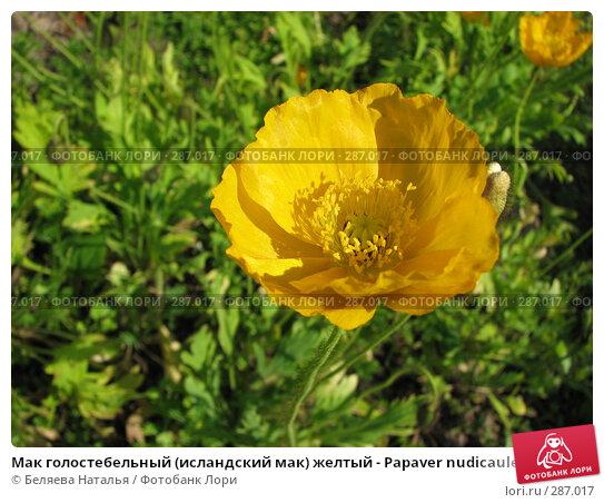 Мак голостебельный (исландский мак) желтый - Papaver nudicaule, фото № 287017, снято 7 июля 2007 г. (c) Беляева Наталья / Фотобанк Лори
