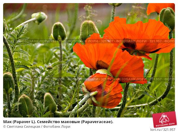 Мак (Papaver L). Семейство маковые (Раpaveraceae)., фото № 321957, снято 15 июня 2008 г. (c) Светлана Силецкая / Фотобанк Лори