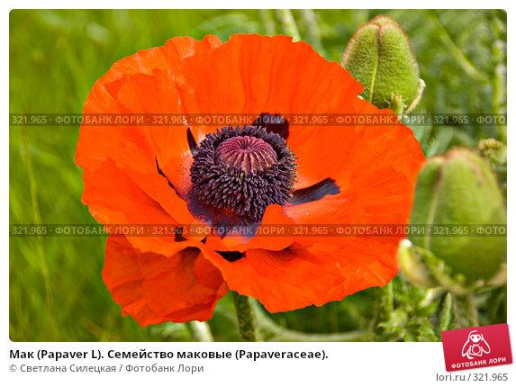Мак (Papaver L). Семейство маковые (Раpaveraceae)., фото № 321965, снято 15 июня 2008 г. (c) Светлана Силецкая / Фотобанк Лори