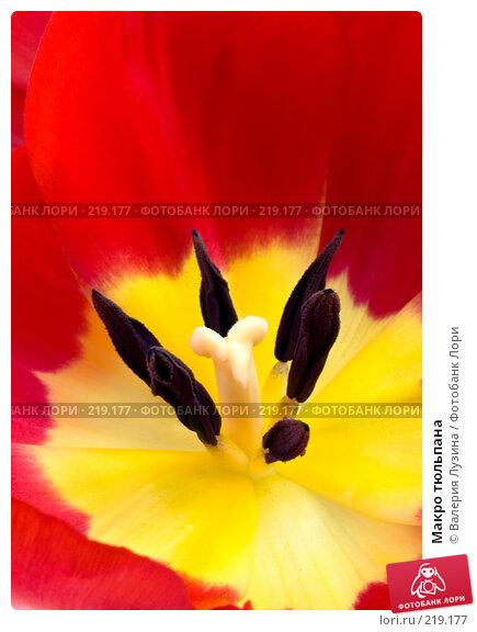 Макро тюльпана, фото № 219177, снято 1 марта 2008 г. (c) Валерия Потапова / Фотобанк Лори