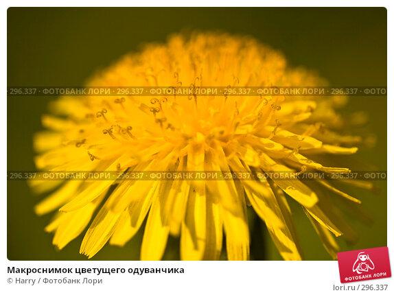 Макроснимок цветущего одуванчика, фото № 296337, снято 20 мая 2008 г. (c) Harry / Фотобанк Лори