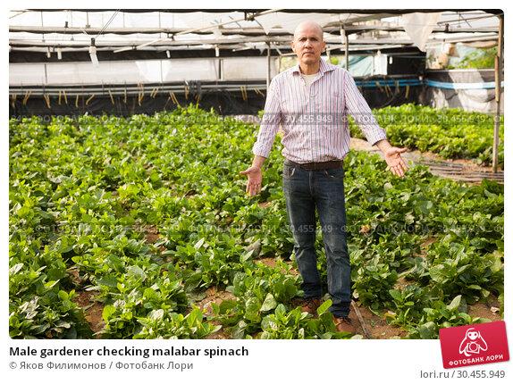 Male gardener checking malabar spinach. Стоковое фото, фотограф Яков Филимонов / Фотобанк Лори
