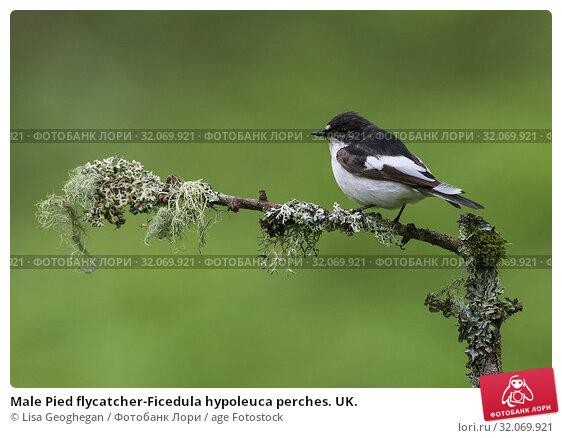 Male Pied flycatcher-Ficedula hypoleuca perches. UK. Стоковое фото, фотограф Lisa Geoghegan / age Fotostock / Фотобанк Лори
