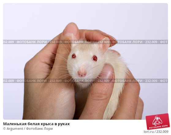 Маленькая белая крыса в руках, фото № 232009, снято 20 марта 2008 г. (c) Argument / Фотобанк Лори