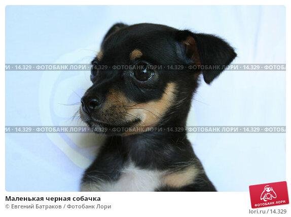 Маленькая черная собачка, фото № 14329, снято 24 июня 2006 г. (c) Евгений Батраков / Фотобанк Лори