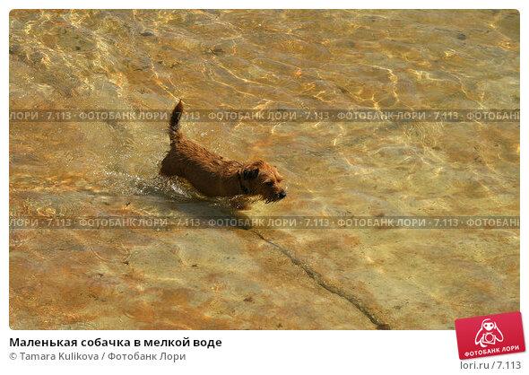 Купить «Маленькая собачка в мелкой воде», фото № 7113, снято 8 августа 2006 г. (c) Tamara Kulikova / Фотобанк Лори