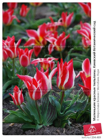 Маленькие красные тюльпаны. Киевский ботанический сад, фото № 204489, снято 12 апреля 2007 г. (c) Мирослава Безман / Фотобанк Лори