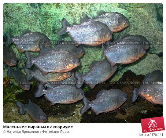 Маленькие пираньи в аквариуме, фото № 170141, снято 15 сентября 2006 г. (c) Наталья Ярошенко / Фотобанк Лори