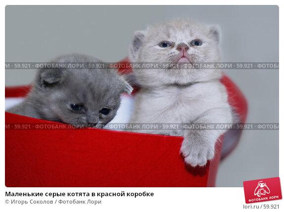 Маленькие серые котята в красной коробке, фото № 59921, снято 24 мая 2017 г. (c) Игорь Соколов / Фотобанк Лори