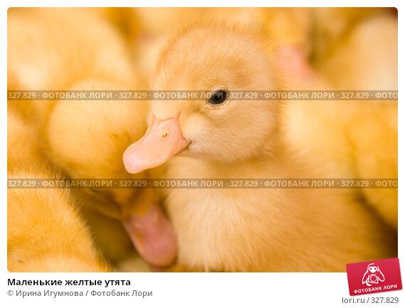 Купить «Маленькие желтые утята», фото № 327829, снято 27 мая 2008 г. (c) Ирина Игумнова / Фотобанк Лори