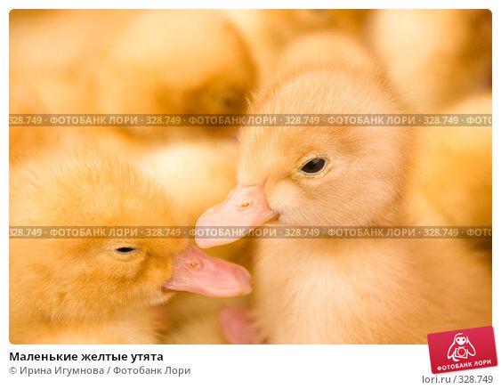 Маленькие желтые утята, фото № 328749, снято 27 мая 2008 г. (c) Ирина Игумнова / Фотобанк Лори