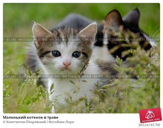 Маленький котенок в траве, фото № 61741, снято 11 мая 2007 г. (c) Константин Покровский / Фотобанк Лори