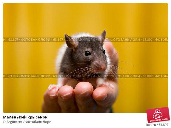 Купить «Маленький крысенок», фото № 63897, снято 16 апреля 2007 г. (c) Argument / Фотобанк Лори