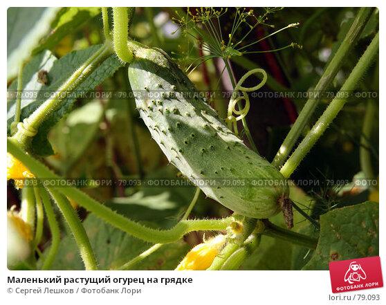 Маленький растущий огурец на грядке, фото № 79093, снято 8 декабря 2007 г. (c) Сергей Лешков / Фотобанк Лори