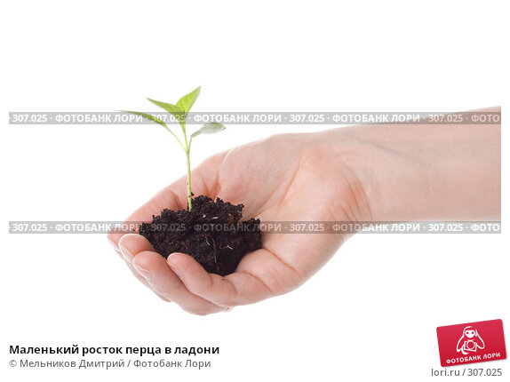 Купить «Маленький росток перца в ладони», фото № 307025, снято 28 мая 2008 г. (c) Мельников Дмитрий / Фотобанк Лори