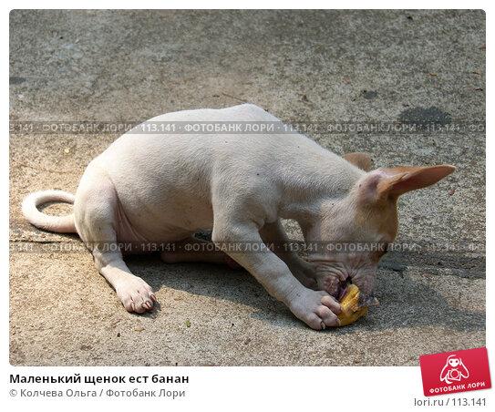 Купить «Маленький щенок ест банан», фото № 113141, снято 29 марта 2007 г. (c) Колчева Ольга / Фотобанк Лори