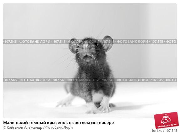 Маленький темный крысенок в светлом интерьере, эксклюзивное фото № 107545, снято 29 октября 2007 г. (c) Сайганов Александр / Фотобанк Лори