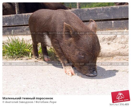 Маленький темный поросенок, фото № 316489, снято 30 мая 2006 г. (c) Анатолий Заводсков / Фотобанк Лори