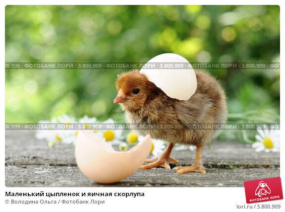 Купить «Маленький цыпленок и яичная скорлупа», фото № 3800909, снято 27 июля 2012 г. (c) Володина Ольга / Фотобанк Лори