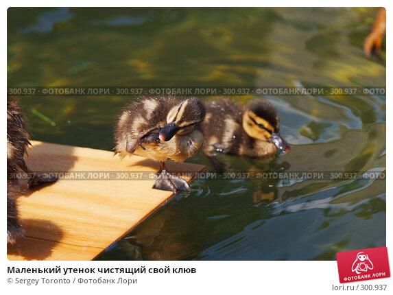 Маленький утенок чистящий свой клюв, фото № 300937, снято 17 мая 2008 г. (c) Sergey Toronto / Фотобанк Лори