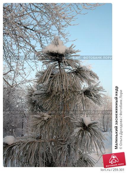 Купить «Маленький заснеженный кедр», фото № 259301, снято 29 ноября 2004 г. (c) Ольга Дроздова / Фотобанк Лори