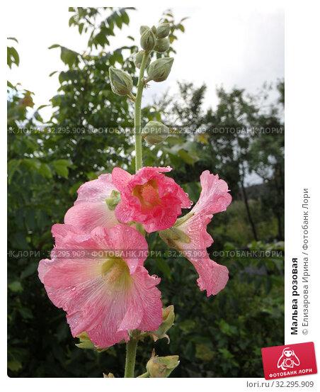 Мальва розовая. Стоковое фото, фотограф Елизарова Ирина / Фотобанк Лори
