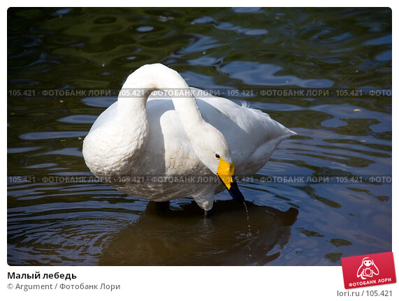 Малый лебедь, фото № 105421, снято 5 августа 2007 г. (c) Argument / Фотобанк Лори