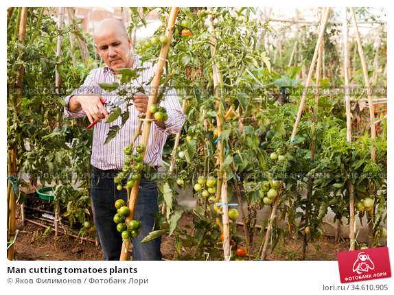 Man cutting tomatoes plants. Стоковое фото, фотограф Яков Филимонов / Фотобанк Лори