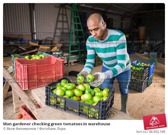 Man gardener checking green tomatoes in warehouse. Стоковое фото, фотограф Яков Филимонов / Фотобанк Лори