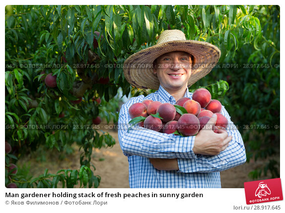 Купить «Man gardener holding stack of fresh peaches in sunny garden», фото № 28917645, снято 11 июля 2018 г. (c) Яков Филимонов / Фотобанк Лори