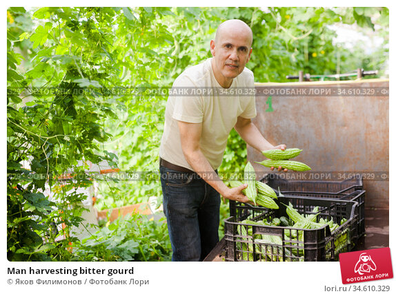 Man harvesting bitter gourd. Стоковое фото, фотограф Яков Филимонов / Фотобанк Лори