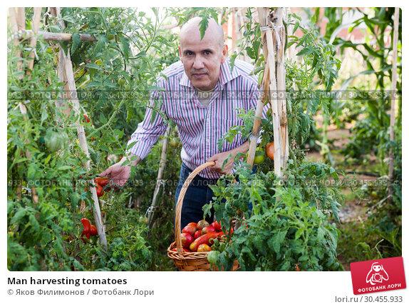 Man harvesting tomatoes. Стоковое фото, фотограф Яков Филимонов / Фотобанк Лори