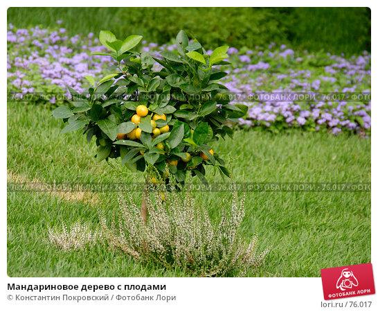 Мандариновое дерево с плодами, фото № 76017, снято 26 августа 2007 г. (c) Константин Покровский / Фотобанк Лори