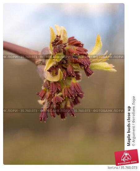 Maple buds close up. Стоковое фото, фотограф Argument / Фотобанк Лори