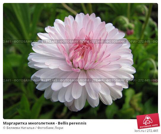 Маргаритка многолетняя - Bellis perennis, фото № 272441, снято 30 июня 2007 г. (c) Беляева Наталья / Фотобанк Лори
