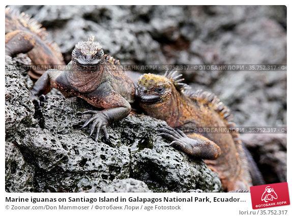 Marine iguanas on Santiago Island in Galapagos National Park, Ecuador... Стоковое фото, фотограф Zoonar.com/Don Mammoser / age Fotostock / Фотобанк Лори