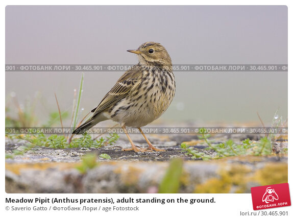 Meadow Pipit (Anthus pratensis), adult standing on the ground. Стоковое фото, фотограф Saverio Gatto / age Fotostock / Фотобанк Лори