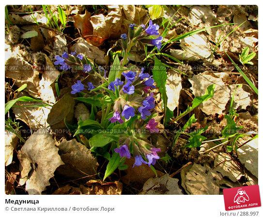 Медуница, фото № 288997, снято 2 мая 2008 г. (c) Светлана Кириллова / Фотобанк Лори