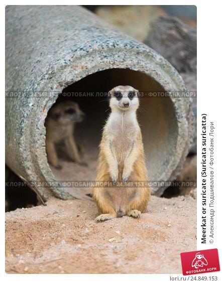 Meerkat or suricate (Suricata suricatta) Стоковое фото, фотограф Александр Подшивалов / Фотобанк Лори