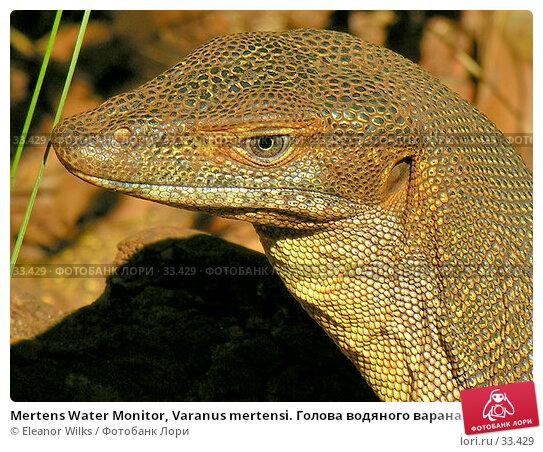 Mertens Water Monitor, Varanus mertensi. Голова водяного варана крупно, фото № 33429, снято 22 июня 2006 г. (c) Eleanor Wilks / Фотобанк Лори