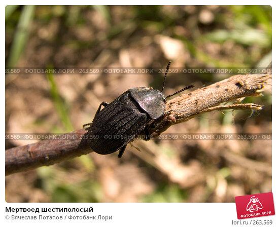 Мертвоед шестиполосый, фото № 263569, снято 22 мая 2005 г. (c) Вячеслав Потапов / Фотобанк Лори