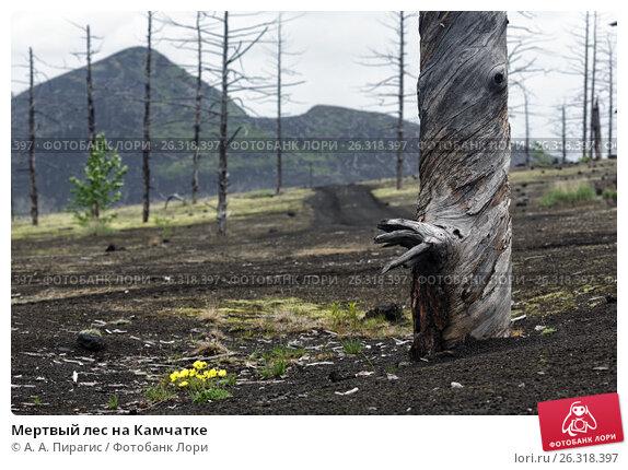 Мертвый лес на Камчатке, фото № 26318397, снято 25 июня 2014 г. (c) А. А. Пирагис / Фотобанк Лори