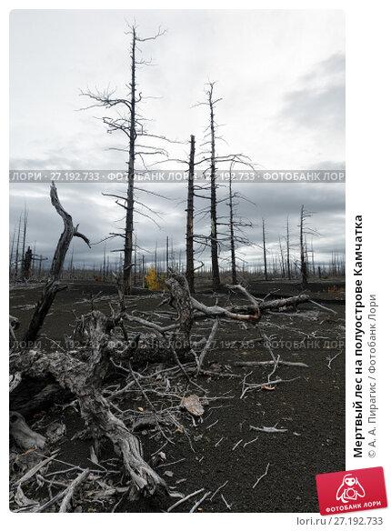 Купить «Мертвый лес на полуострове Камчатка», фото № 27192733, снято 17 сентября 2013 г. (c) А. А. Пирагис / Фотобанк Лори