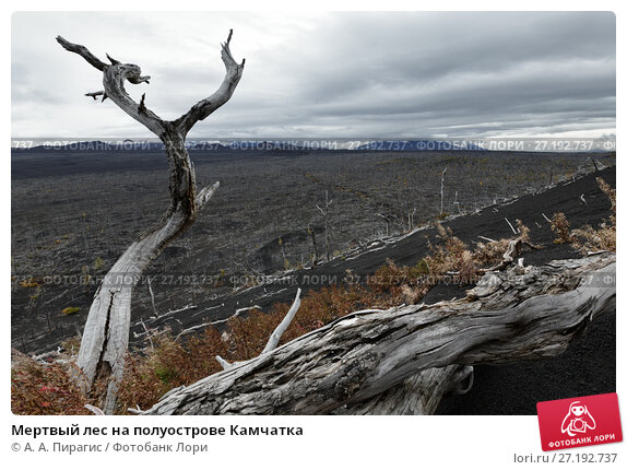 Купить «Мертвый лес на полуострове Камчатка», фото № 27192737, снято 17 сентября 2013 г. (c) А. А. Пирагис / Фотобанк Лори