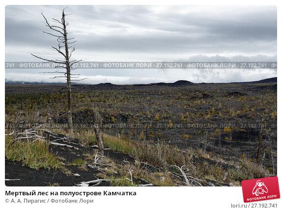 Купить «Мертвый лес на полуострове Камчатка», фото № 27192741, снято 17 сентября 2013 г. (c) А. А. Пирагис / Фотобанк Лори