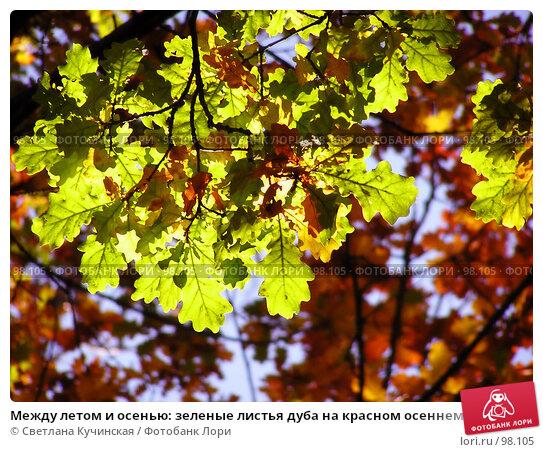 Между летом и осенью: зеленые листья дуба на красном осеннем фоне, фото № 98105, снято 20 июля 2017 г. (c) Светлана Кучинская / Фотобанк Лори