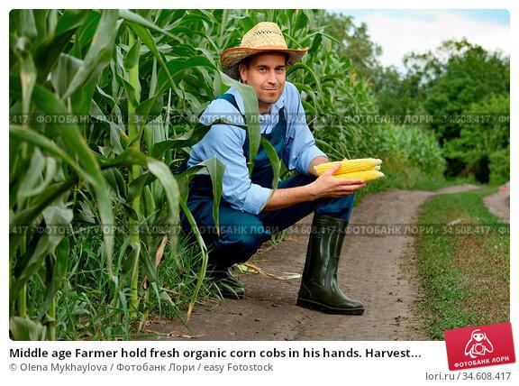 Middle age Farmer hold fresh organic corn cobs in his hands. Harvest... Стоковое фото, фотограф Olena Mykhaylova / easy Fotostock / Фотобанк Лори