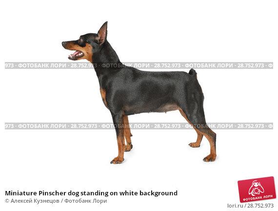 Купить «Miniature Pinscher dog standing on white background», фото № 28752973, снято 1 июля 2018 г. (c) Алексей Кузнецов / Фотобанк Лори