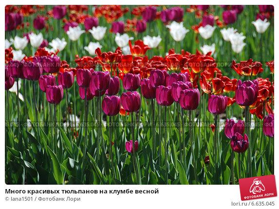 Много красивых тюльпанов на клумбе весной. Стоковое фото, фотограф lana1501 / Фотобанк Лори