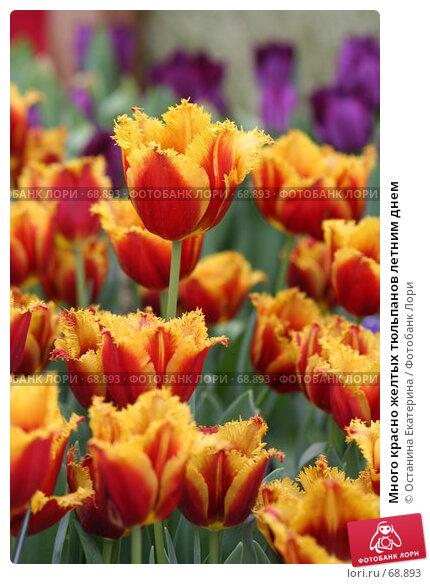 Много красно желтых тюльпанов летним днем, фото № 68893, снято 19 февраля 2007 г. (c) Останина Екатерина / Фотобанк Лори